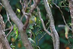 Northern Parula (BSendelbach) Tags: backyardbirds yardbirds latesummerbirds fallmigration birds warblers fallwarblers