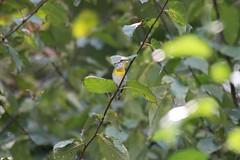 Northern Parula (male) (BSendelbach) Tags: backyardbirds yardbirds latesummerbirds fallmigration birds warblers fallwarblers