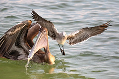 Brown Pelican Catching & Seagull Stealing (dbadair) Tags: outdoor seaside shore sea sky water nature wildlife 7dm2 7d ii ef100400mm ocean canon florida bird