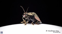 from Ecuador: www.youtube.com/AndreasKay (In Memoriam: Ecuador Megadiverso) Tags: andreaskay beetle cassidinae chrysomelidae coleoptera ecuador flickr leafbeetle stolascoalita tortoisebeetle youtube