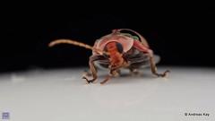 from Ecuador: www.youtube.com/AndreasKay (In Memoriam: Ecuador Megadiverso) Tags: alticini andreaskay asphaerasp beetle chrysomelidae coleoptera ecuador fleabeetle flickr galerucinae leafbeetle youtube