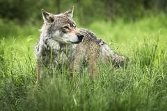 20190628-Polar Park (7) (a.pontanus) Tags: wolf
