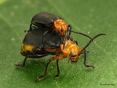 from Ecuador: www.youtube.com/AndreasKay (In Memoriam: Ecuador Megadiverso) Tags: andreaskay beetle chrysomelidae coelomeracayennensis coleoptera ecuador focusstack leafbeetle