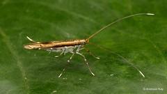 from Ecuador: www.youtube.com/AndreasKay (In Memoriam: Ecuador Megadiverso) Tags: andreaskay ecuador featherwingmoth moth plumemoth pterophoridae