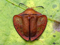 from Ecuador: www.youtube.com/AndreasKay (In Memoriam: Ecuador Megadiverso) Tags: andreaskay beetle cassidinae chrysomelidae coleoptera ecuador focusstack leafbeetle tortoisebeetle