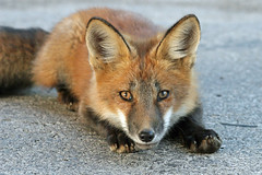 "We Are All Related  ""Mitakuye Oyasin"" (marylee.agnew) Tags: vulpes red fox related animal nature urban city family friend wildlife cute kit close"