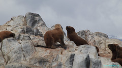 Ushuaia, Tierra del Fuego, Argentina (Neil M Holden) Tags: ushuaia tierradelfuego argentina wildlife nature worldtrekker seals