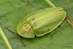from Ecuador: www.youtube.com/AndreasKay (In Memoriam: Ecuador Megadiverso) Tags: andreaskay aspisomasp beetle coleoptera ecuador firefly focusstack idbymichaelgeiser lampyridae