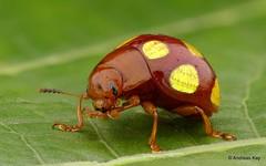 from Ecuador: www.youtube.com/AndreasKay (In Memoriam: Ecuador Megadiverso) Tags: andreaskay beetle chrysomelidae coleoptera ecuador focusstack idbyjimmcclarin id577 leafbeetle platyphorasp