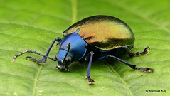 from Ecuador: www.youtube.com/AndreasKay (In Memoriam: Ecuador Megadiverso) Tags: andreaskay beetle chrysomelidae coleoptera ecuador eumolpussp focusstack idbyrobertconstantinmichaelgeiser leafbeetle