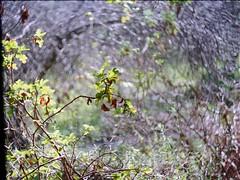 Spring Swirl (nickant44) Tags: fujica kodak ultramax 35mm slr film analog m42 coolscan australia st801 helios 442 swirl bokeh