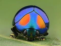 from Ecuador: www.youtube.com/AndreasKay (In Memoriam: Ecuador Megadiverso) Tags: andreaskay beetle coleoptera ecuador focusstack lamprosomasp lamprosomatinae