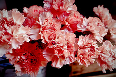 Pink Carnation (Fnikos) Tags: flower flowers flor flores fiore fiori pink rosado carnation nature naturaleza natura color colour colores colours colors dark light shadow shadows dof depth depthoffield outside outdoor