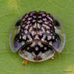 from Ecuador: www.youtube.com/AndreasKay (In Memoriam: Ecuador Megadiverso) Tags: andreaskay cassidinae chrysomelidae coleoptera ecuador focusstack idbymichaelgeiser leafbeetle microctenochirasp tortoisebeetle