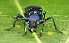 from Ecuador: www.youtube.com/AndreasKay (In Memoriam: Ecuador Megadiverso) Tags: andreaskay beetle coleoptera ecuador focusstack plochionocerusfulgens rovebeetle staphylinidae