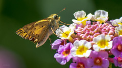 s k i p p e r (epiclectic) Tags: skipper butterfly lantana nature insect macro epiclecticcom