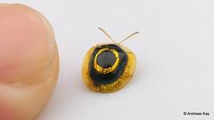 from Ecuador: www.youtube.com/AndreasKay (In Memoriam: Ecuador Megadiverso) Tags: andreaskay cassidinae charidotisvenusta chrysomelidae coleoptera ecuador flickr focusstack idbyrobwesterduijn leafbeetle targettortoisebeetle