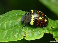 from Ecuador: www.youtube.com/AndreasKay (In Memoriam: Ecuador Megadiverso) Tags: andreaskay beetle chrysomelidae coleoptera ecuador flickr focusstack id594 leafbeetle platyphorasp