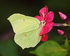 2019_08_0720 (petermit2) Tags: brimstonebutterfly brimstone butterfly gonepteryxrhamni gonepteryx pieridae brodsworthhall brodsworth doncaster southyorkshire yorkshire englishheritage garden gardens heritage heritagegarden