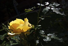 Yellow Rose and Leaves (Padmacara) Tags: flower leaves g11 shadowlight yellow