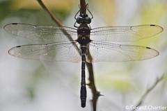 Epophthalmia vittigera bellicosa, male (GeeC) Tags: epophthalmiavittigerabellicosa macromiidae animalia odonata epophthalmia nature arthropoda kohkongprovince insecta cambodia tatai anisoptera dragonflies ឃុំឫស្សីជ្ kohkong