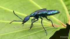 from Ecuador: www.youtube.com/AndreasKay (In Memoriam: Ecuador Megadiverso) Tags: andreaskay beetle coleoptera ecuador plochionocerusfulgens rovebeetle staphylinidae