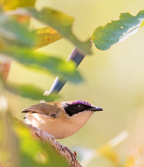 Purple-crowned Fairy-wren (christinaport) Tags: purplecrownedfairywren fairywren purple nt bird birds wild free
