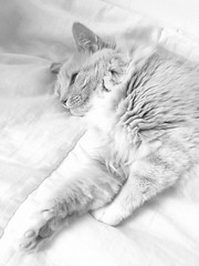 Is it worth waking up? (esallen52) Tags: cat feline portrait blackwhite animal pet rescuecat