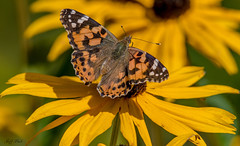 DSC6256  Painted Lady... (Jeff Lack Wildlife&Nature) Tags: paintedlady butterflies butterfly lepidoptera insects insect wildlife wetlands wildflowers wildlifephotography jefflackphotography macro flowers grasslands nature naturephotography nikon nectaring summermigrant glades gardens parklands parks verges coth5 ngc