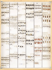 Collection Alan Dufberg, Coleoptera 24 (Biological Museum, Lund University: Entomology) Tags: coleoptera histeridae lycidae lampyridae cantharidae