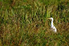 Bubulcus ibis (M.L Photographie) Tags: animal nature wild wildlife wildlifephoto wildlifephotography bird oiseau ornitho ornithology france normandie eure héron bubulcus egret coolpix nikon p900