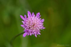 Piccoli fiori nascosti (3) / Small hidden flowers (3) (Eugenio GV Costa) Tags: approvato piccoli fiori nascosti small hidden flowers flower hides fiore