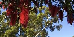 Banksia (Padmacara) Tags: flower red australia g11