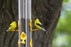 Chardonneret IMG_0193 (Paul_Paradis) Tags: faune wildlife bird oiseau nature natural animal summer ete chardonneret goldfinch canada quebec iledorleans