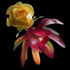 Rose & Protea (Pixel Fusion) Tags: nature nikon flora flower aperture macro d600 photoshop protea rose