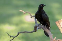 white winged chough (crispiks) Tags: birdlife nikon d500 70200 f28 wonga wetlands albury new south wales white winged cloughs