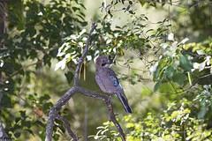 Arrendajo común. Eurasian Jay. Garrulus glandarius-2 (Abasolo2011) Tags: 2019 cazorla arrendajo común eurasian jay garrulus glandarius