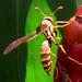 wasp on Monrovia, Lowe's