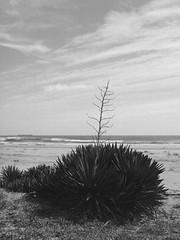 Free As the Wind (Yoshikatsu Sato) Tags: mediumformat 6x45 mamiya645 sekor80mmf19 landscape yuccaplant onahama
