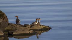 Red-breasted Merganser - Toppönd (ingolfssonvalur) Tags: toppönd mergusserrator redbreasted merganser þingvallavatn iceland nature wildlife