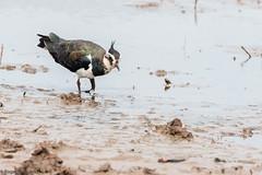 Lapwing at Frampton Marsh (Cerdic Elesing) Tags: rspb lapwing england feeding mudflats birds lincolnshire framptonmarsh seascapes