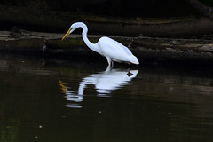 Great Egret (Astral Will) Tags: bird heron egret greategret wading hunting fishing reflection