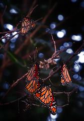 Monarch Migration (In Explore 9/19/19) (michellewendling907) Tags: monarch midewin