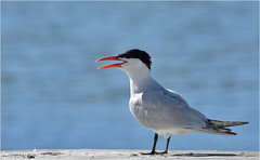 Caspian Tern (hd.niel) Tags: caspiantern terns aerialdive fish largesttern lakeontario birds nature photos wildlife photography