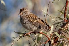 Chipping Sparrow (Gf220warbler) Tags: idaho emberizidae spizella sparrow passerine songbird migrant