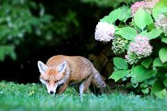 sneaking up on me ;) (Sue Elderberry) Tags: fox redfox rotfuchs vulpusvulpes vixen vulpus urbanfox urbanwildlife urbannature urbananimal cityfox canine renard zorro hydrangea hortensie blooming garden daylight daytime summer