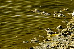 Grey Wagtail (ianbartlett) Tags: outdoor 365 nature wildlife birds dragonflies grasses leaves monochrome closeup colour shadows light