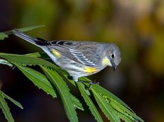 Yellow-Rumbed Warbler (Ed Sivon) Tags: america canon nature lasvegas wildlife western wild wind southwest desert clarkcounty flickr vegas bird henderson nevada