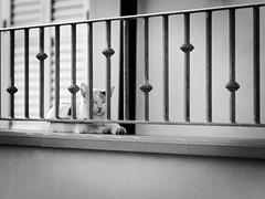 GFX2068 - Cat behind bars (Diego Rosato) Tags: cat fence gatto rinchiera bar sbarra animal animale pet stray randagio fuji gfx50r fujinon gf110mm rawtherapee bianconero blackwhite
