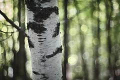 arbre_Takumar 50mm f1,4__DSF2893 (J-P Rioux) Tags: arbre tree forêt jprioux fujifilm xt3 takumar50mmf14 escarpement sentier